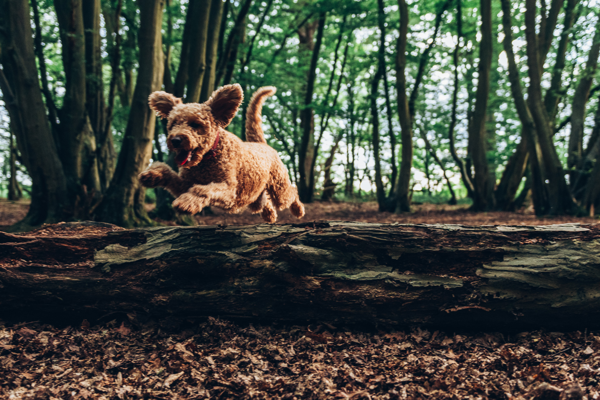 Dog jumping in wain woods